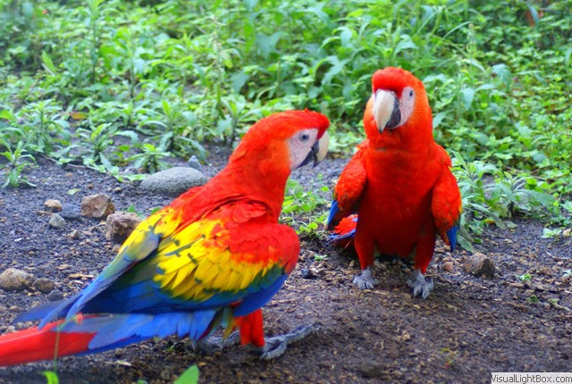 Ca Boquete Panama Mating Pair Of Scarlet Macaws