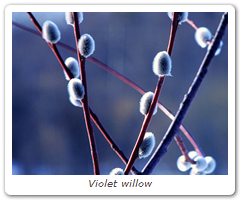 Violet willow