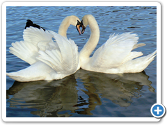 Swans in Springtime, The Lough Cork
