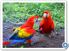 Boquete Panama - mating pair of scarlet macaws.