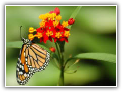 Butterfly Gardens: Classic Butterfly