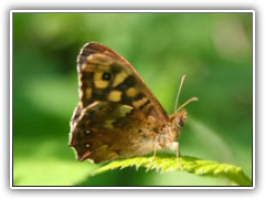 Butterfly - Sydenham Hill Wood, South London, England