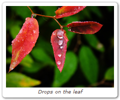 Drops on the leaf