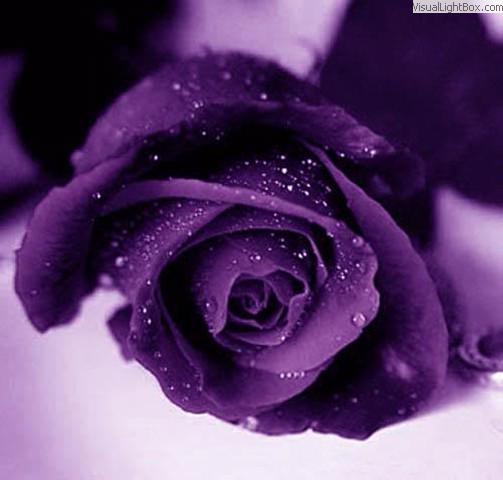 Purple Heart Night Wallpaper Rose